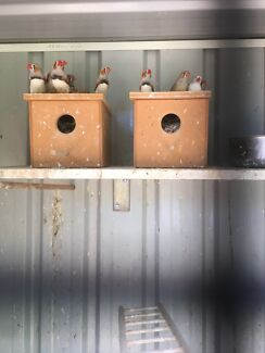 MALE FINCHES FOR SALE!