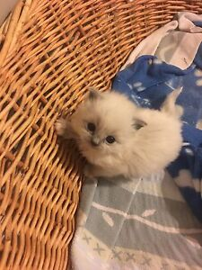 T.I.C.A Registered blue point mitted female