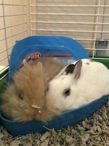 Dwarf and Lionhead Rabbits to a good home