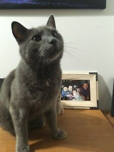Short haired Grey male cat