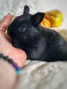 Mini Rex Netherland Dwarf Bunnies 1 chubby little boy left
