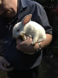 FOUND! All white pet bunny
