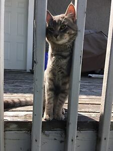 FOUND** GREY CAT in Fraser's Grove area