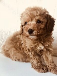 Beautiful Red Toy Poodle Puppy