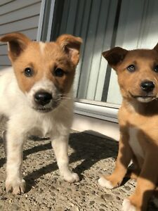 ** Mixed breed puppies **