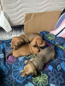 Miniature dashhound puppies