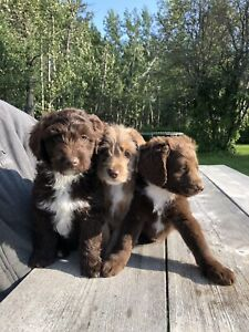 Labradoodle | Kijiji in Edmonton  - Buy, Sell & Save with