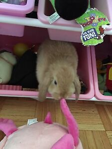 3 month old holland lop male