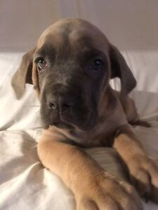 *****MASTIFF PUPPIES looking for there forever home*********