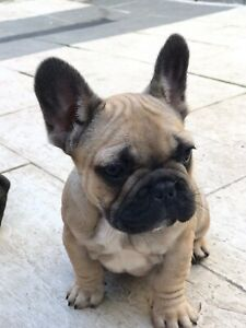 Purebred French bulldog puppies
