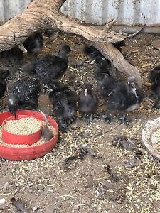 Silkie chicks Minlaton Yorke Peninsula Preview