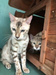 Bengal boys looking for their furever homes