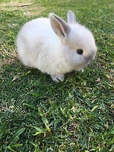Mini lop x Netherland dwarf bunnies High Wycombe Kalamunda Area Preview