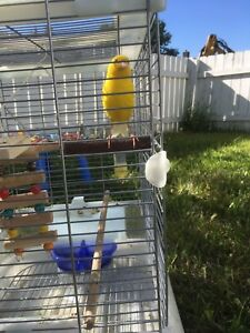 Male singer canary with cage and more