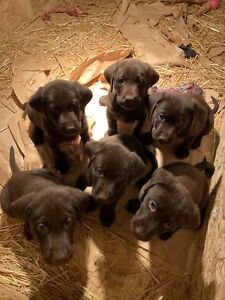 3 Male Chocolate Lab Puppies