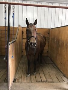 11 year old quarter horse mare