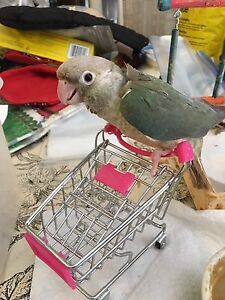 Rare Hand Fed Turquoise Conure Baby