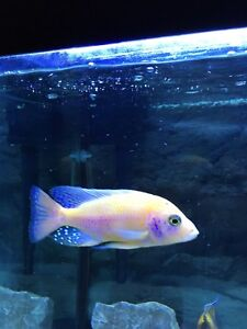 """5"""" Male Dragon Blood Peacock Cichlid for sale"""
