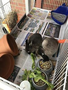 COMPLETE PACKAGE. Rabbits, hutch & MORE Sunshine West Brimbank Area Preview