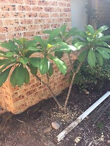 Frangipani approx 1.5m tall - Buyer to remove Bligh Park Hawkesbury Area Preview