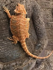 Citrus Red Male Bearded Dragon
