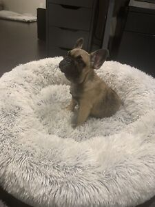 FRENCHIE PUPPIES FROM WE LOVE FRENCHIES CANADA