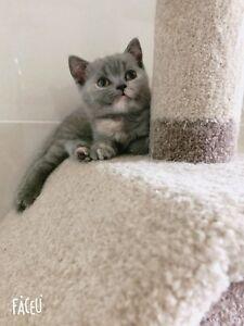 Pedigree British Shorthair kitten available