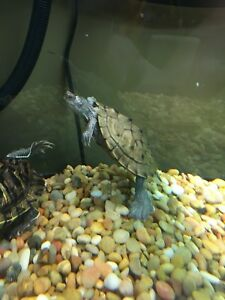 Mississippi Map turtle(male)