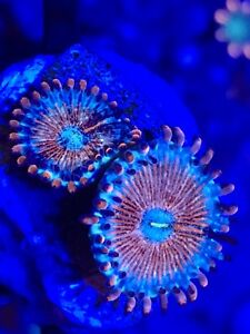 Designer Beautiful Reef Corals and Frags