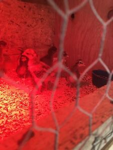 Game bantam chickens, and others