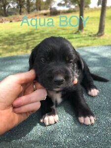 Golden retriever/lab x border collie pups