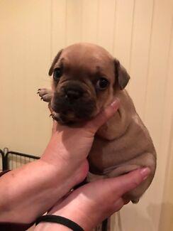 French bulldog pedigree papered
