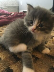 6 beautiful kittens ready soon for loving homes