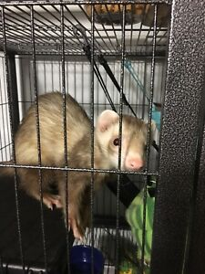 Ferret and Accessories For Sale