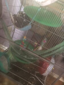 Bonded sugar glider pair for sale