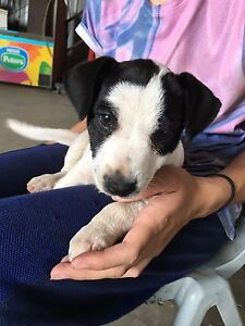 Fox terrier x jack Russell puppies Horsley Park Fairfield Area Preview