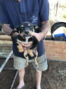 Kelpie cross puppies  Mypolonga Murray Bridge Area Preview