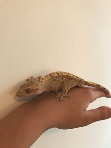 Adult Male Crested Gecko and Cage