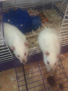 Friendly rats (PET ONLY)
