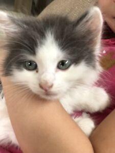 Persian Ragdoll kitten
