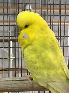 Colorful dilute variety budgie direct from show breeder Camberwell Boroondara Area Preview
