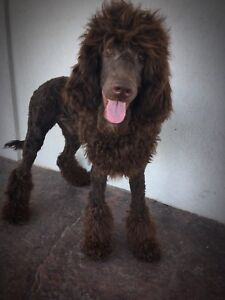 Stunning male standard poodle!