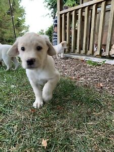 Lab | Adopt Dogs & Puppies Locally in Ontario | Kijiji