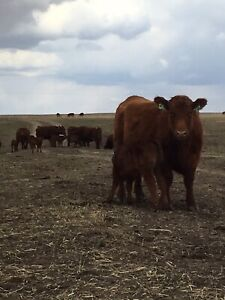 Cow /calf pairs for sale