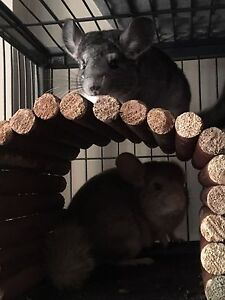 Pair Chinchillas and cage