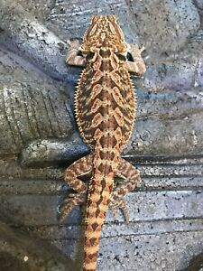 Purple colored  bearded dragons