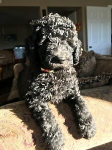 Just 2 Female F1B Goldendoodle (Silver Phantom) Puppies