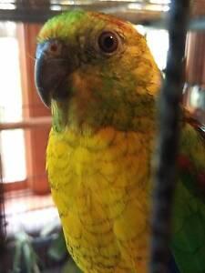 Beautiful male Red Rumped Parrot (not hand tame) Ballarat North Ballarat City Preview