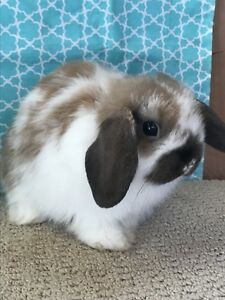 Adorable Baby Holland Lops