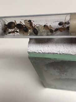 Ant Sugar Queen with workers Antfarm Formicarium Best Buy
